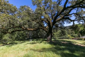 Majestic Oak in Meadow